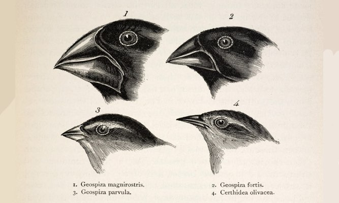 "Illustration from page 379, ""Journal of Researches"" 2nd Edition 1845 Charles Darwin. The contrasting beaks of four Galapagos finches, three Geospizinae genus and one Certhidea (Warbler finch). Darwin originally misidentified the finches when he collected them on the Galapagos, assuming them to be from very different groups. He also failed to label them well, which he always regretted. Artist/ornithologist John Gould identified them for him and alerted him to them as a new group of 12 closely related species of ground finch (actually members of the Tanager family, Thraupidae). The name 'Darwin's finch' was applied by Percy Lowe in 1936. The finches were famously studied by David Lack in the 1940's and more recently by Peter and Rosemary Grant. The Grants provided the best evidence of evolution within a human time-frame with finches found on Galapagos' Daphne major and minor islands."